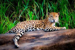 Jaguar en la selva amazónica peruana