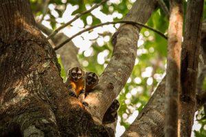 Los pequeños Micos nocturnos son el unico grupo de primates que pertenecen a la familai de Aotidae , estos pueden ser encontrados en Sudamerica y Centroamerica en los bosques tropicales de la Amazonia