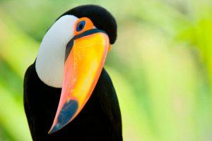 Los tucanes se deslizan entre las copas de los árboles de la selva y añaden color al dosel con sorprendentes plumajes resaltados en negro, blanco, rojo y amarillo.