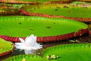 La flor Victoria Regia pertenece a la familia de las ninfaceas se caracteriza por estar presente en estanques y lagunas poco profundas