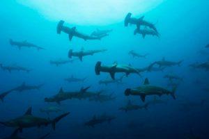 Tiburones martillo Galápagos Ecuador