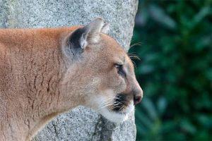 Puma Tambopata