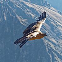 vuelo del cóndor, Cañon del Colca, Arequipa, Peru
