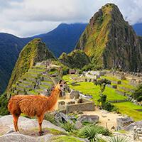 Machu Picchu y sus Llamas, Ciudadela de Machupichu, auquenidos andinos de Machupichu, Huaynapicchu, Cusco, Peru